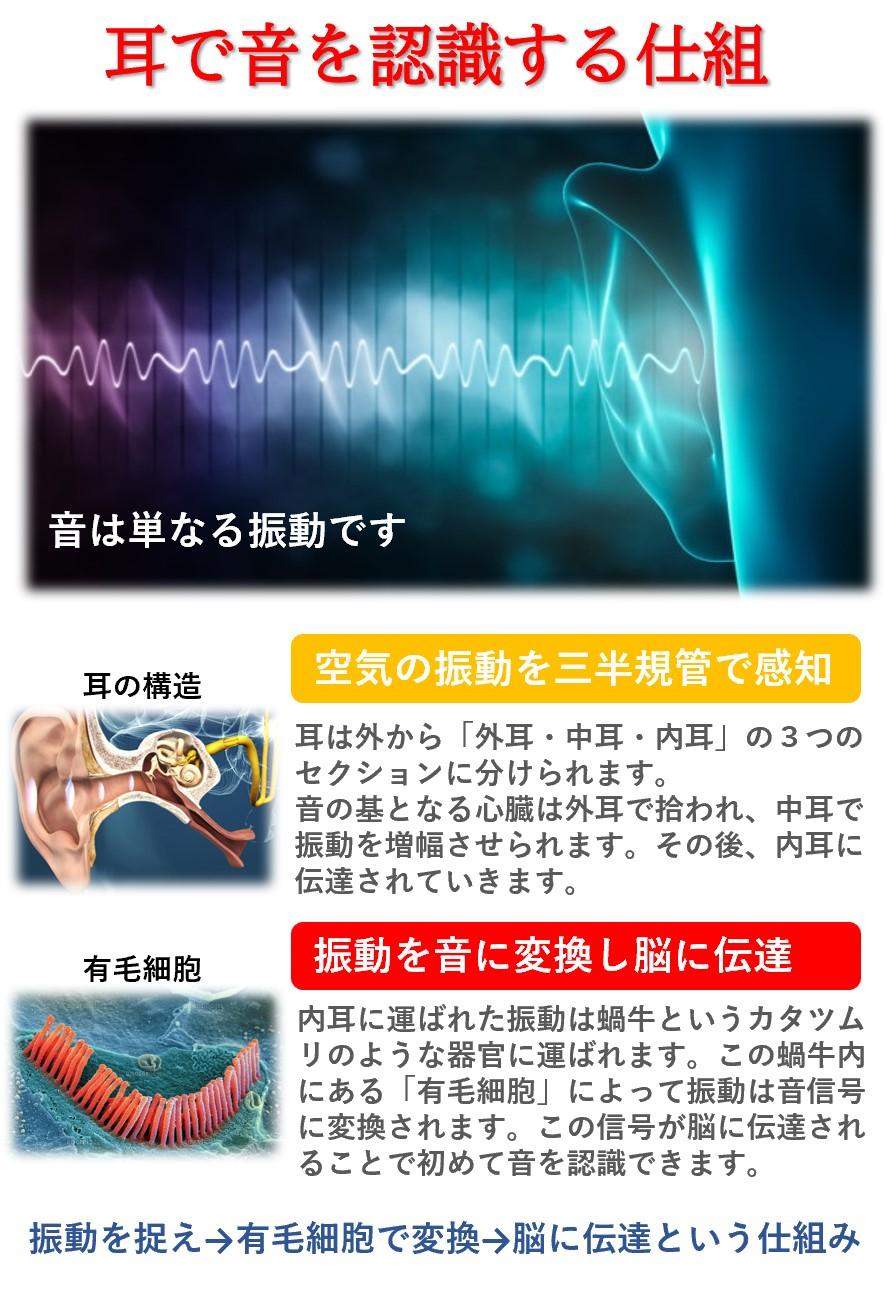 音が聞こえる仕組み「外耳と中耳で振動を感知→内耳の蝸牛内にある有毛細胞で振動を音信号に変換し脳に伝達」
